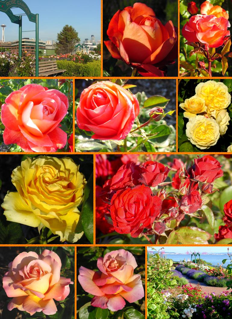 Elliott Bay Roses (Bottom) - June 15, 2001