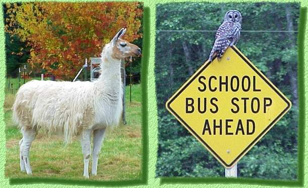 Llama and Owl in Greenbank